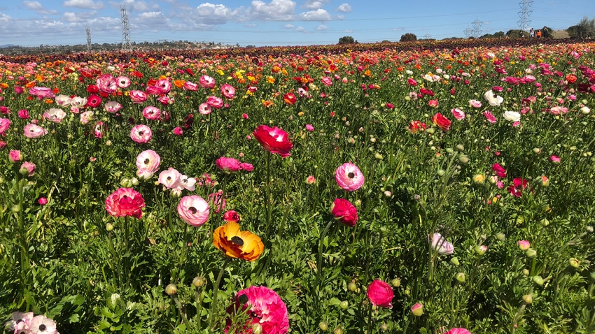 Carlsbad-Flower-Fields-March-2018-2