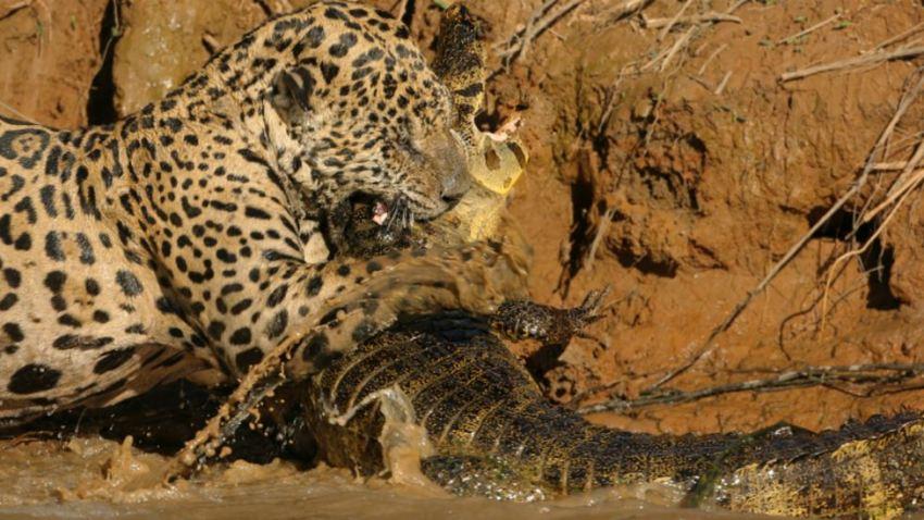 TLMD-brasil-jaguar-contra-caiman-pantanal-shutterstock_344004917-crop