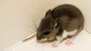 deer mouse hantavirus
