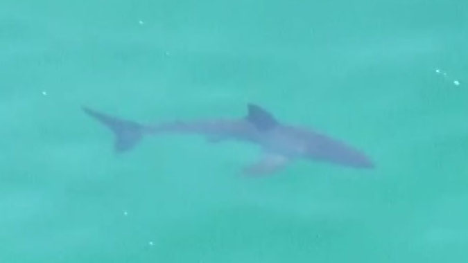 The shark was spotted Thursday off Torrey Pines State Beach