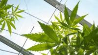 Primer negocio legal de cannabis abre en Chula Vista