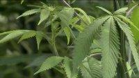 Decomisan $3.3 millones de marihuana de una granja en Ramona