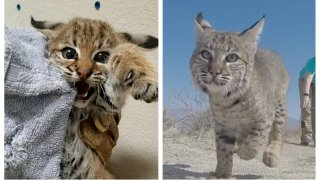 A bobcat kitten that was found abandoned in Borrego Springs on Nov. 23, 2020 was rehabilitated and released by the San Diego Humane Society's Ramona Wildlife Center in March 2021.