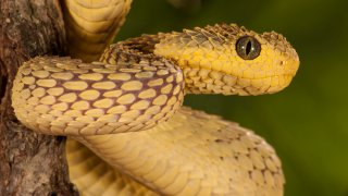 African Bush Viper, Atheris squamigera, coiled around a tree branch; native to Masai Mara, Kenya, Africa Controlled situation.
